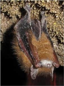 WNS on a bat